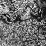 Blijdorp Krokodil